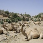 Eritrea - where it's fine to photograph camels - just not government buildings